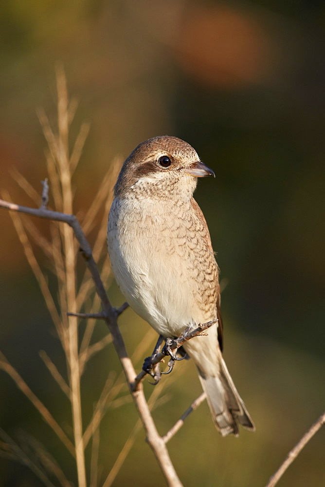 Red-backed Shrike (Lanius collurio), female, Kruger National Park, South Africa, Africa - 764-6152