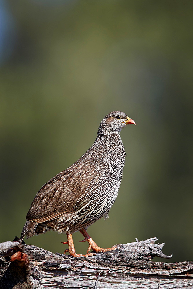 Natal Francolin (Natal Spurfowl) (Pternistes natalensis), Kruger National Park, South Africa, Africa - 764-6159