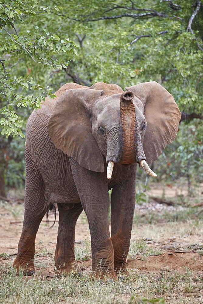 African Elephant (Loxodonta africana) with its trunk raised, Kruger National Park, South Africa - 764-6161