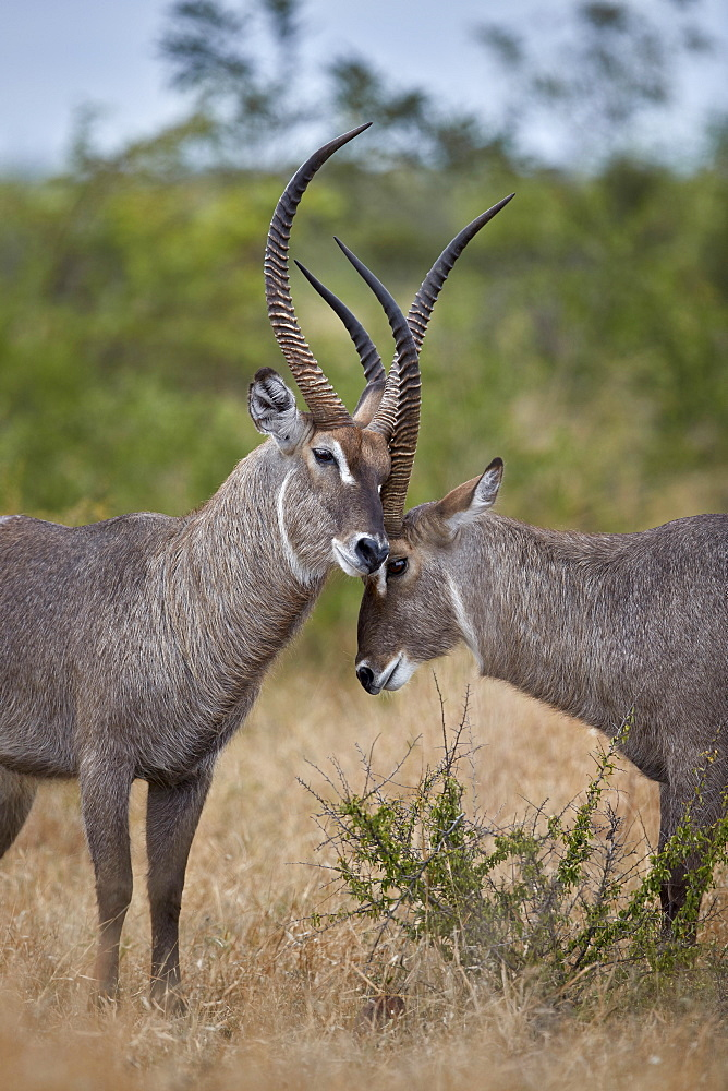 Two Common Waterbuck (Kobus ellipsiprymnus ellipsiprymnus) bucks greeting each other, Kruger National Park, South Africa, Africa - 764-6169