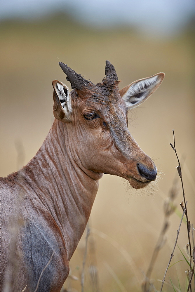 Topi (Tsessebe) (Damaliscus lunatus) calf, Kruger National Park, South Africa, Africa - 764-6170