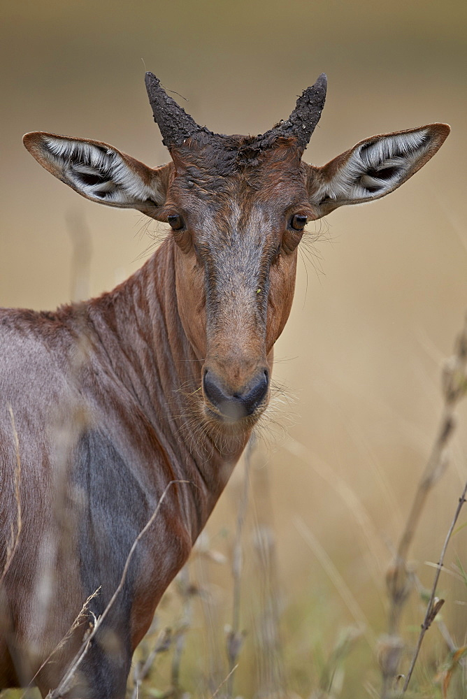 Topi (Tsessebe) (Damaliscus lunatus) calf, Kruger National Park, South Africa, Africa - 764-6173