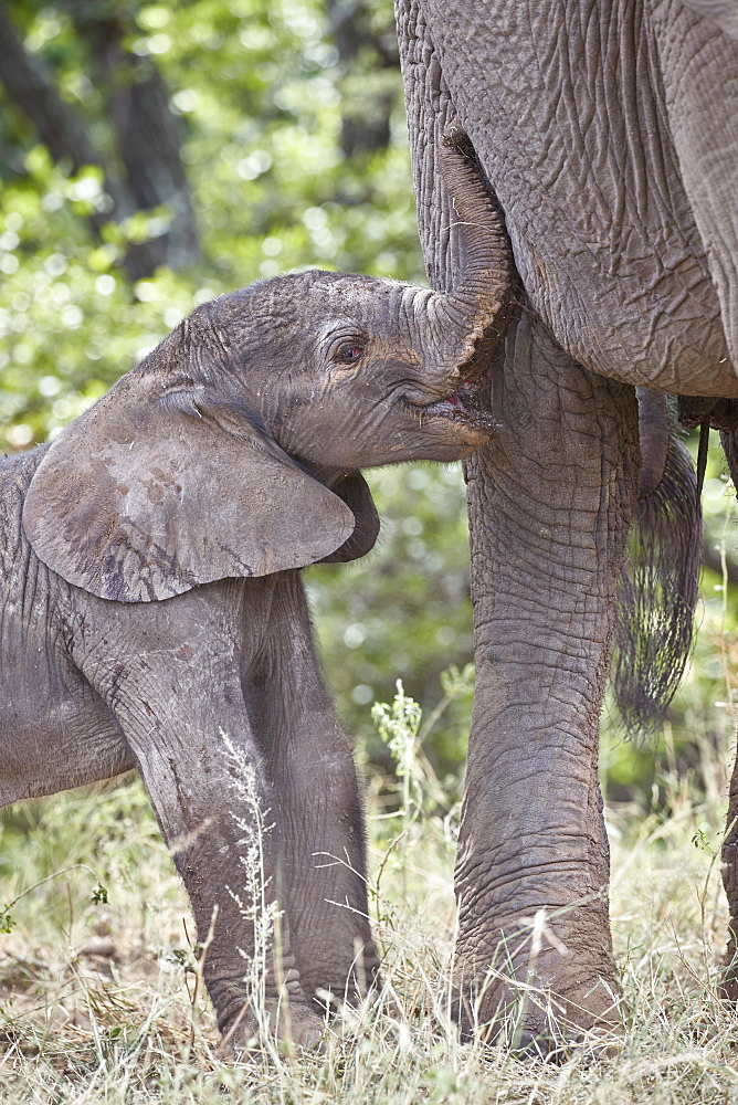 Days-old African Elephant (Loxodonta africana) calf, Kruger National Park, South Africa, Africa - 764-6175