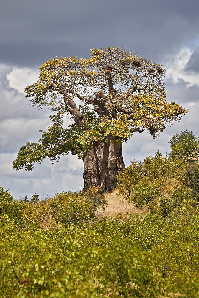 Baobab (Adansonia digitata), Kruger National Park, South Africa, Africa - 764-6176