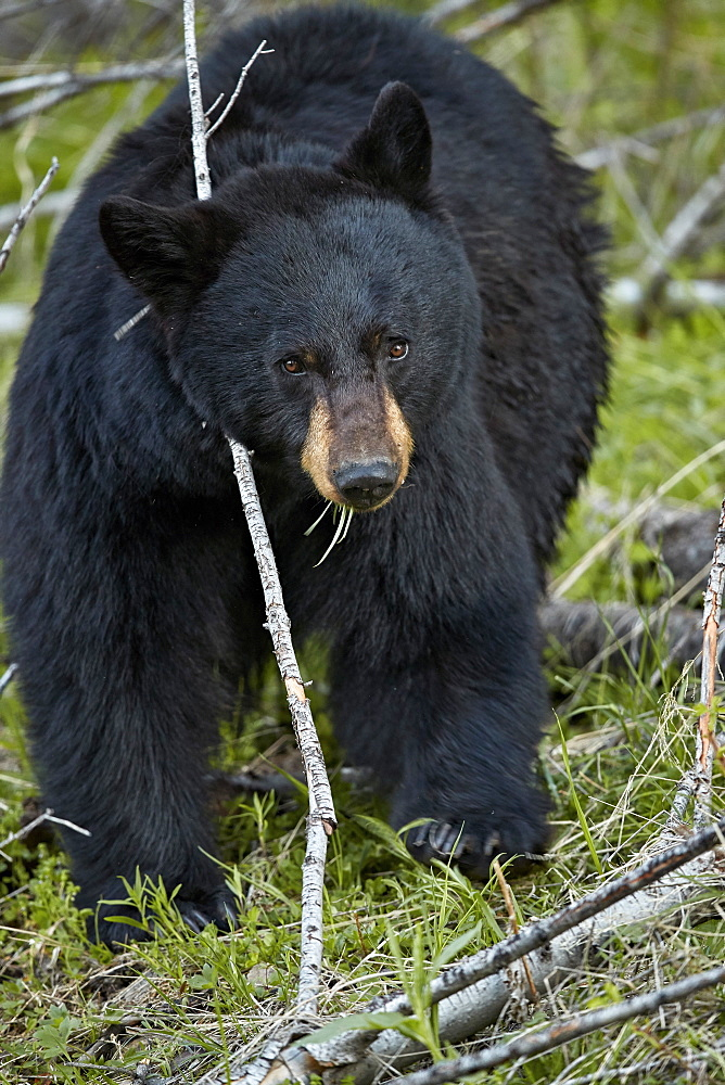Black Bear (Ursus americanus), Yellowstone National Park, Wyoming, United States of America, North America - 764-6186
