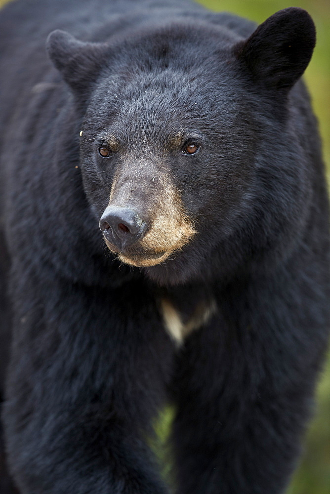 Black Bear (Ursus americanus), Jasper National Park, Alberta, Canada, North America - 764-6222