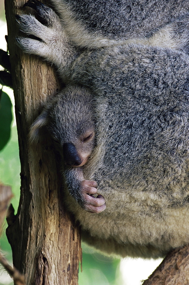 Baby koala bear (Phascolarctos cinereus) in pouch, Brisbane, Queensland, Australia, Pacific