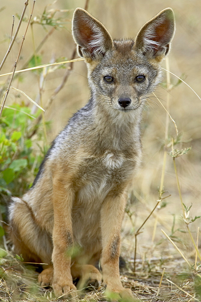 Young black-backed jackal or silver-backed jackal (Canis mesomelas), Masai Mara National Reserve, Kenya, East Africa, Africa