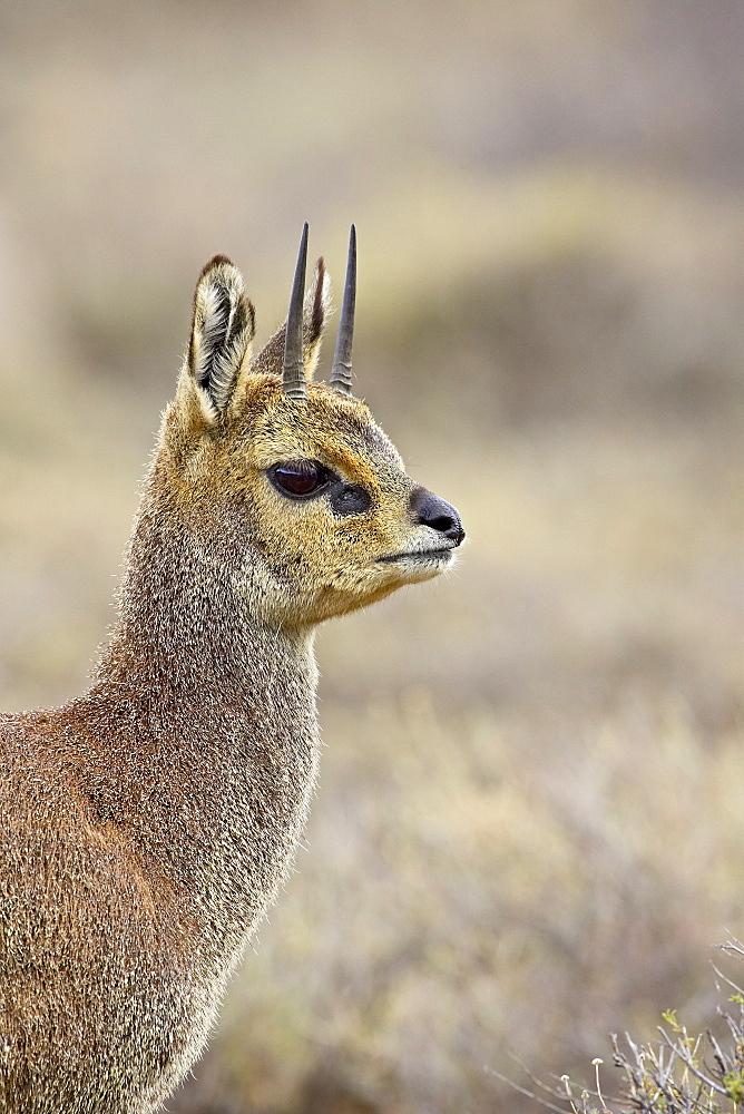 Male klipspringer (Oreotragus oreotragus), Karoo National Park, South Africa, Africa