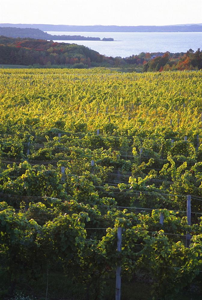 Vineyards near Traverse City, Michigan, United States of America, North America
