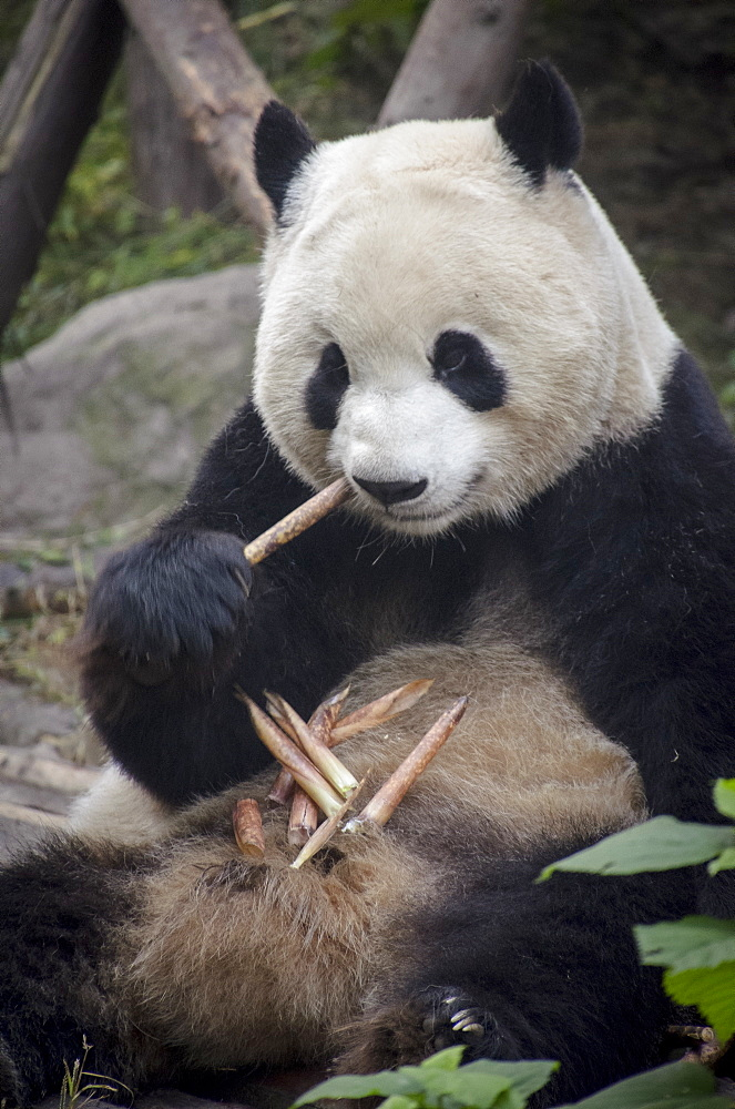 Chengdu Research Base of Giant Panda Breeding, Chengdu, Sichuan Province, China, Asia - 767-1224