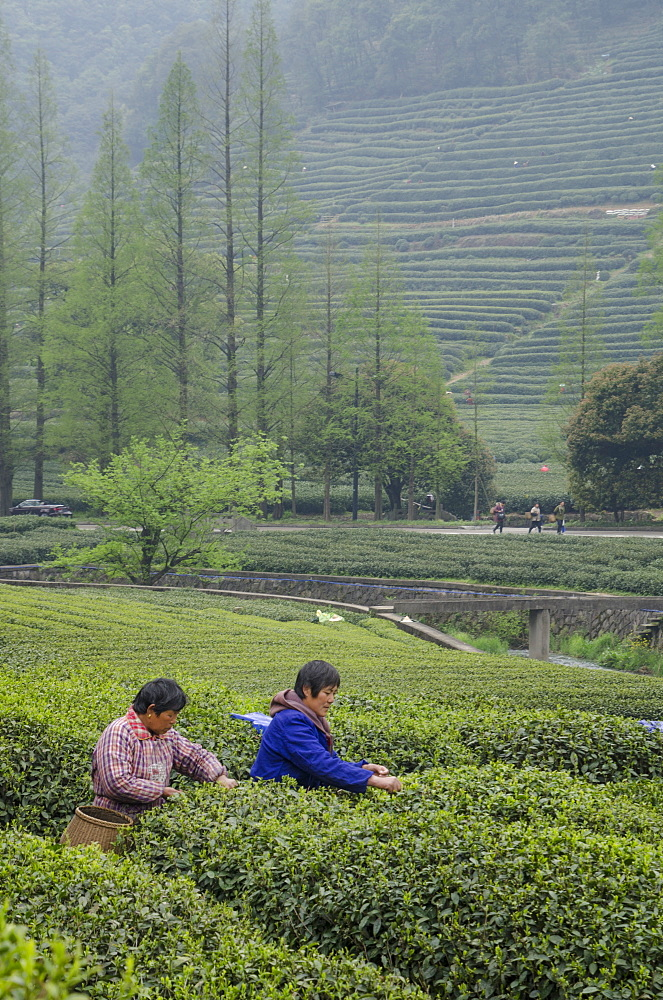 Dragon Well Green Tea Plantation near Hangzhou, Zhejiang province, China, Asia - 767-1228