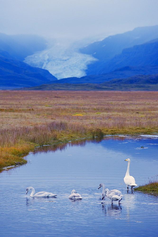 Whooper swans (Cygnus cygnus) family, Hoffelsjokull glacier in background, north of Hofn, East Fjords region (Austurland), Iceland, Polar Regions