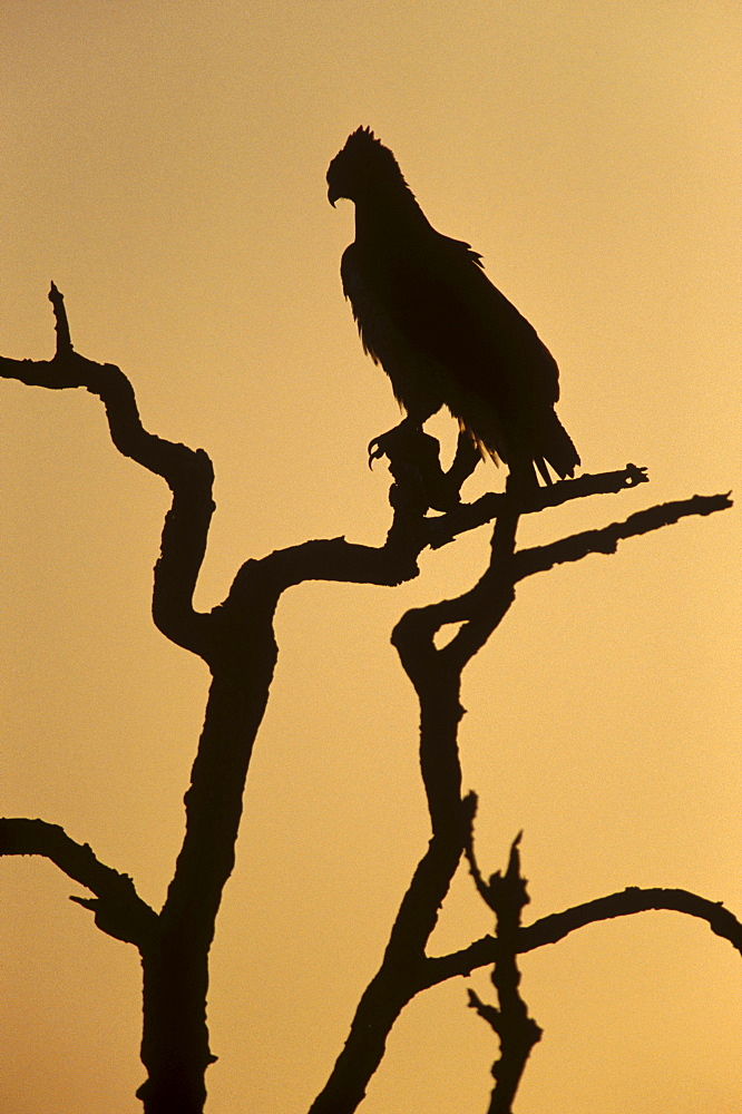 Silhouette of martial eagle (Polemaetus bellicosus), Botswana, Africa - 770-1738