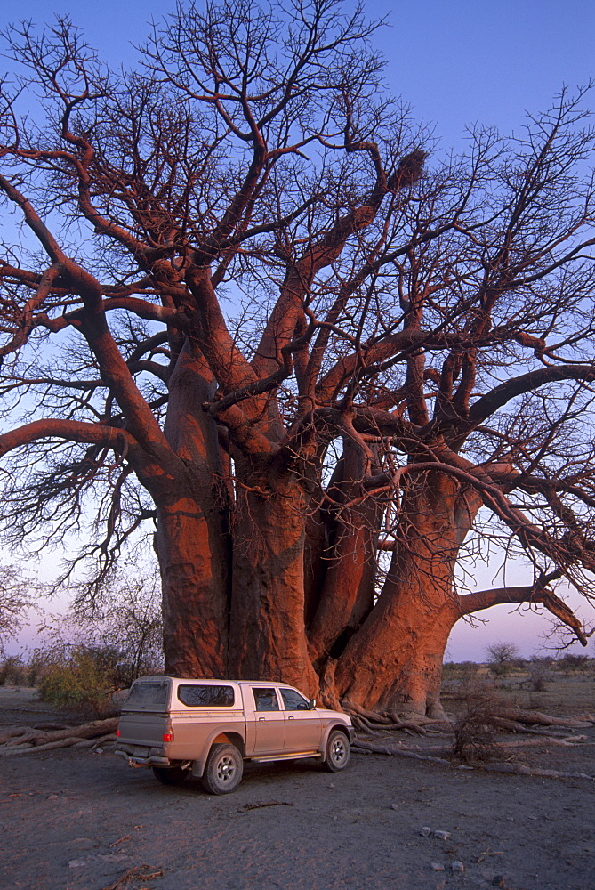 Chapman's Baobab, claimed to be the largest tree in Africa at 25 metres around, camped under and measured by early explorers Chapman, Baines, Livingstone and others. Makgadikgadi Pans National Park, Botswana, Africa - 770-1757