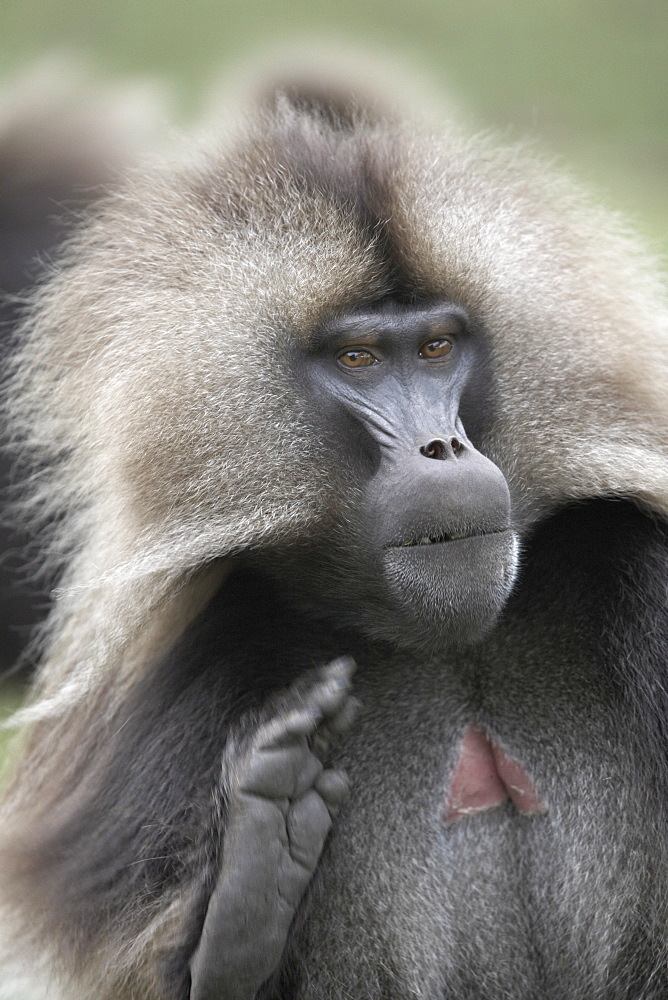 A male Gelada baboon, in the Simien Mountains National Park, Ethiopia, Africa