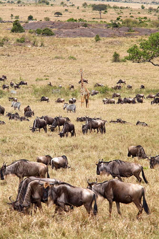 Wildlife in abundance in the Masai Mara National Reserve, Kenya, East Africa, Africa - 774-809
