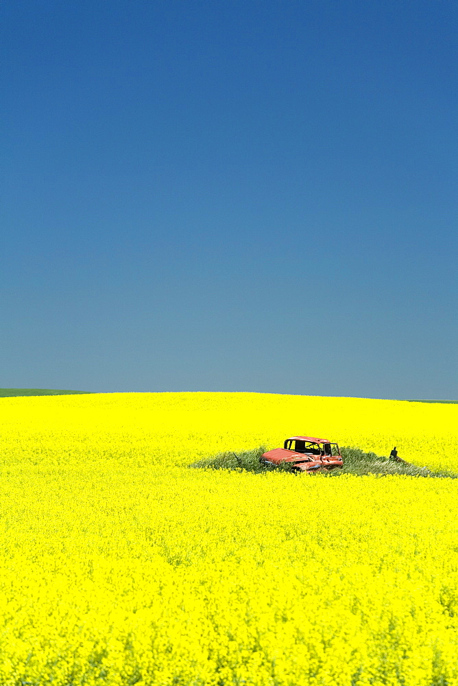 Field of canola on the Enchanted Highway, Regent, North Dakota, United States of America, North America