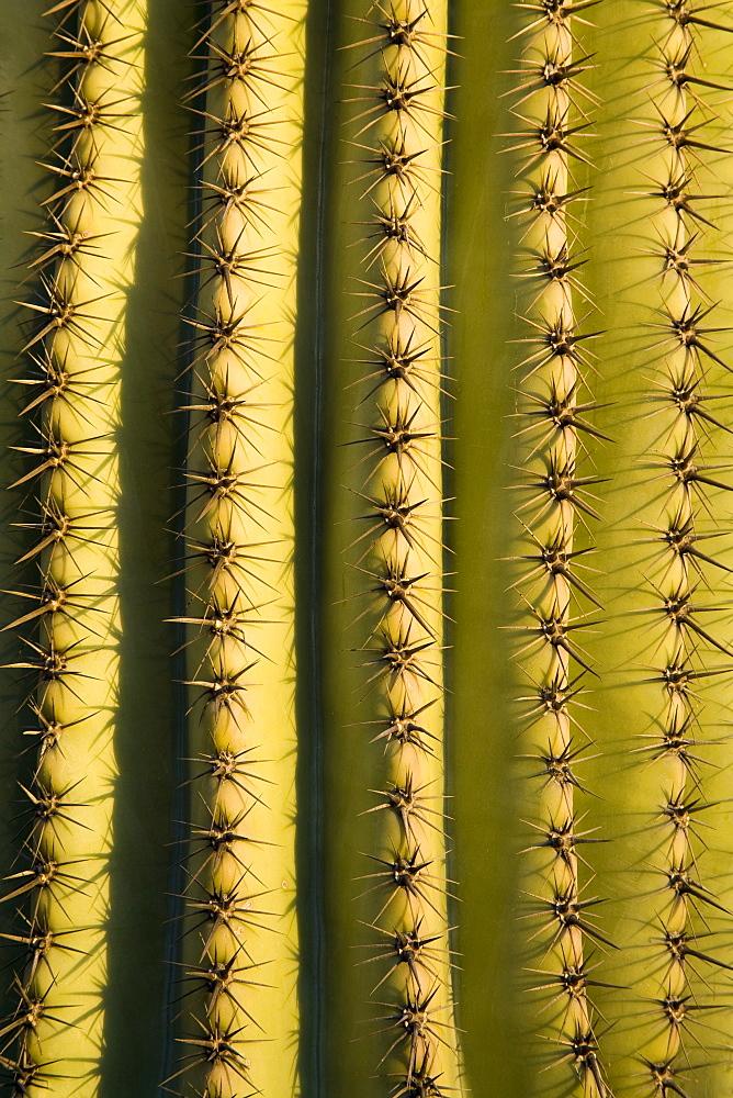 Saguaro cactus detail, Tucson, Pima County, Arizona, United States of America, North America