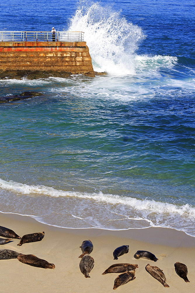 Harbor Seals, La Jolla, San Diego, California, USA
