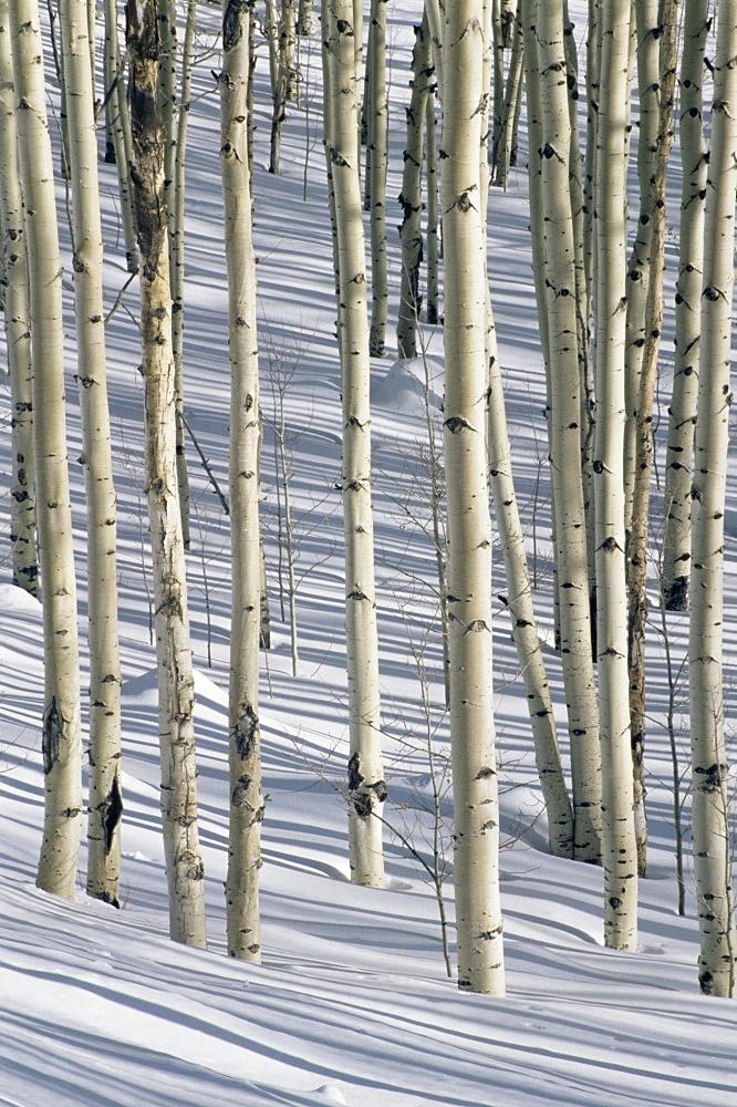 Aspen trees, San Francisco Peaks, Arizona, United States of America, North America
