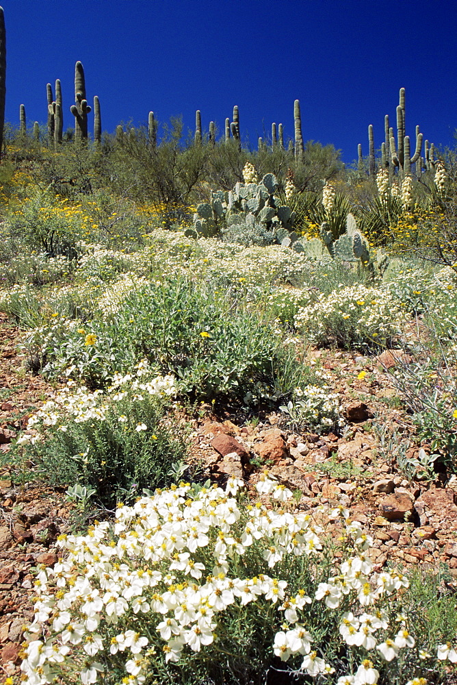 Wildflowers and cacti, Rincon Mountains, Tucson, Arizona, United States of America, North America