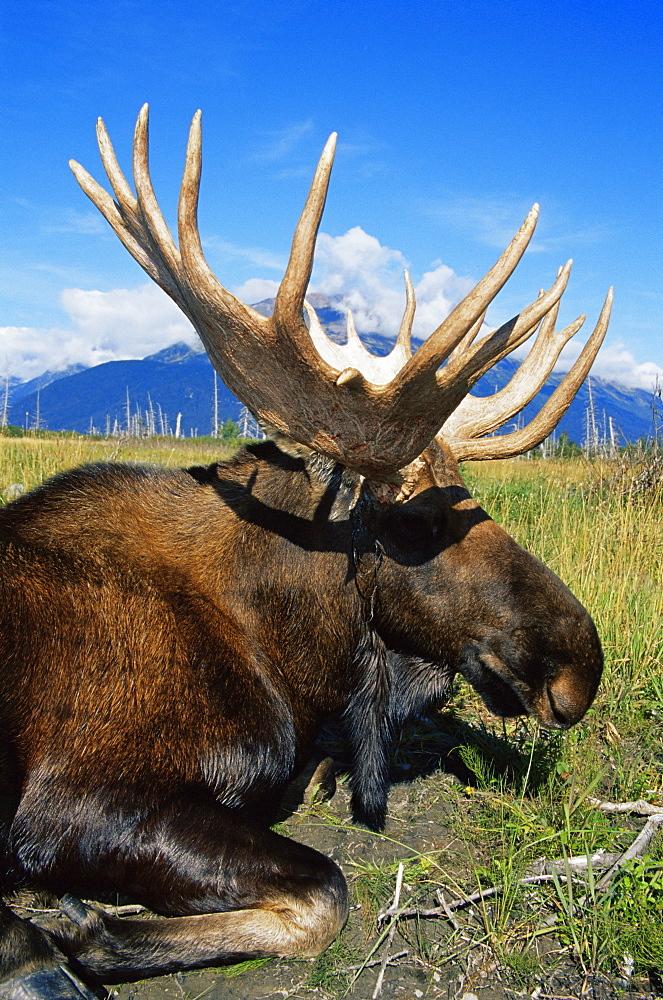 Moose, Alaska Big Game Wildlife Park, Portage, Seward Highway, Alaska, United States of America, North America