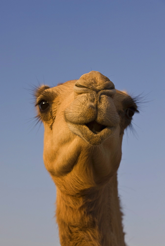 Close-up of camel's head in bright evening light, near Abu Dhabi, United Arab Emirates, Middle East - 785-1028