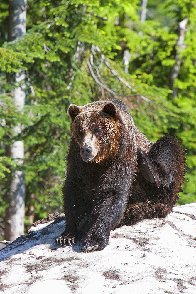 Grizzly bear scratching on ice at the top of Grouse Mountain, Vancouver, British Columbia, Canada, North America