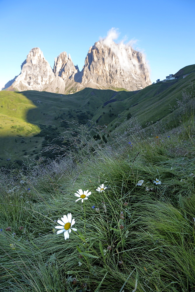 Wild flowers and the dramatic Sassolungo mountains in the Dolomites near Canazei, Trentino-Alto Adige, Italy, Europe