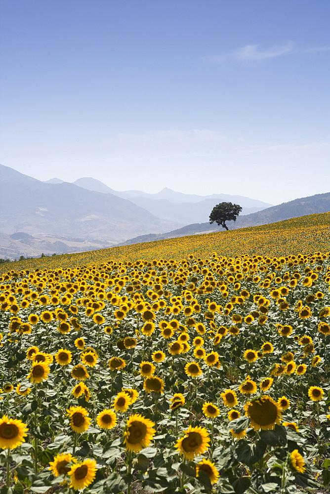 Sunflowers, near Ronda, Andalucia, Spain, Europe - 791-11