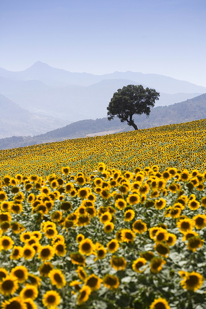 Sunflowers, near Ronda, Andalucia (Andalusia), Spain, Europe - 791-3