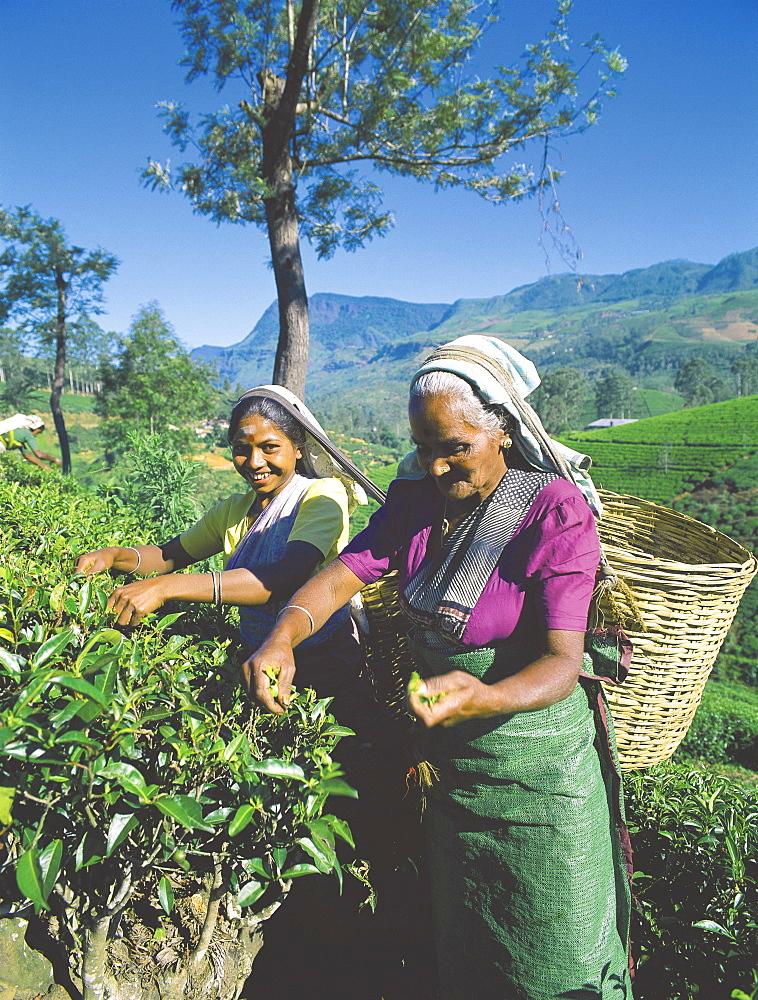 Plucking tea, tea plantation, Nuwara Eliya, Sri Lanka, Asia