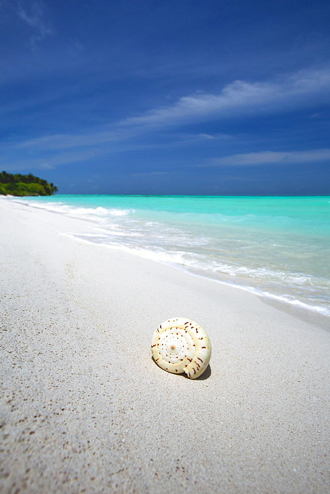 Shell on tropical beach, Maldives, Indian Ocean, Asia  - 795-499
