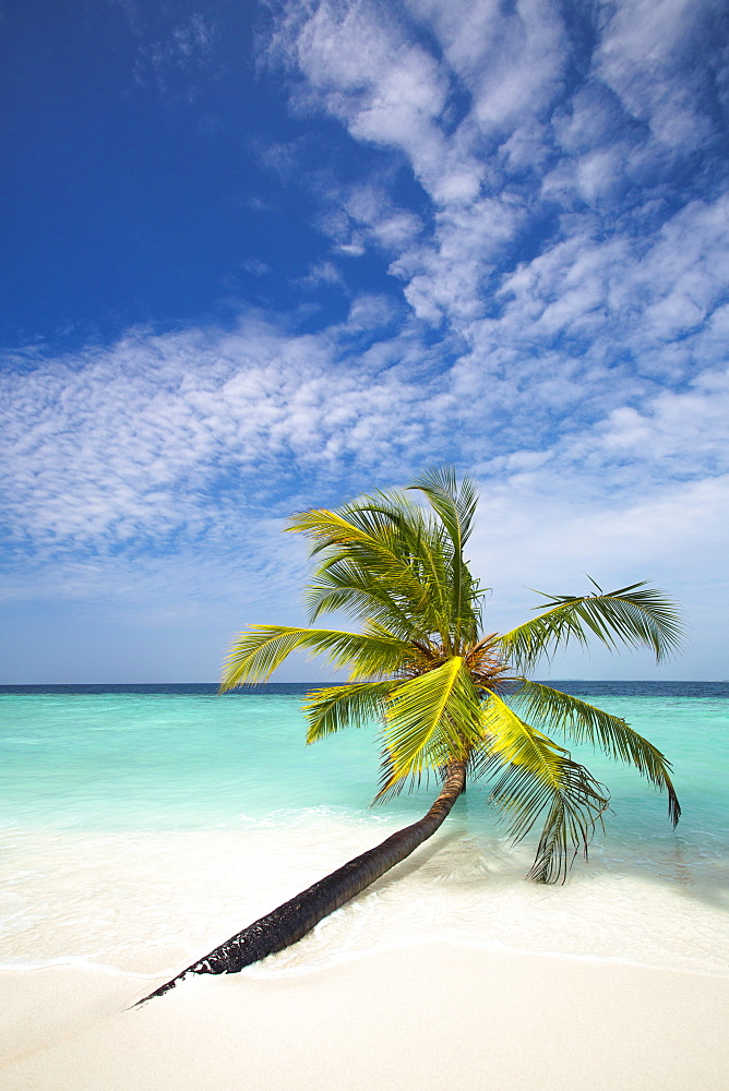 Palm tree on tropical beach, Maldives, Indian Ocean, Asia - 795-507