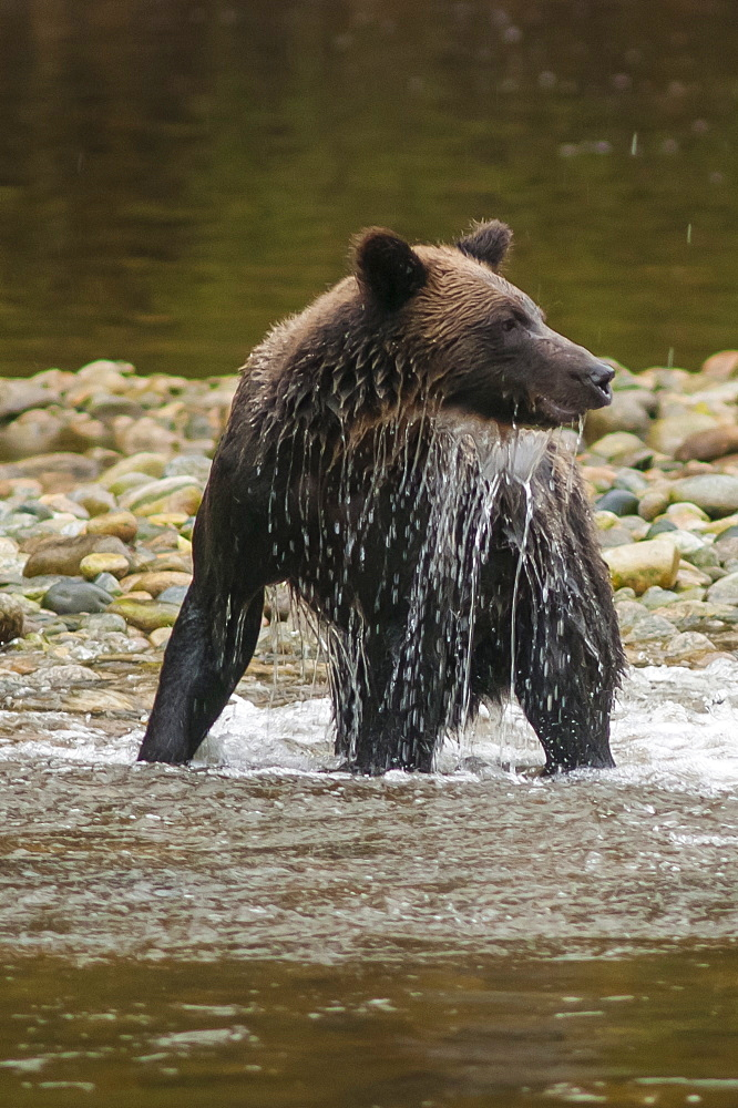 Brown or grizzly bear (Ursus arctos) fishing for salmon in Great Bear Rainforest, British Columbia, Canada, North America