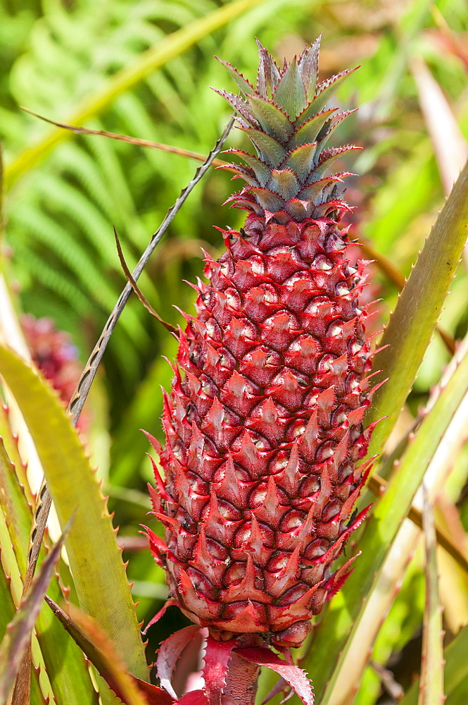 Pineapple plants, Dole Plantation, Wahiawa, Oahu, Hawaii, United States of America, North America