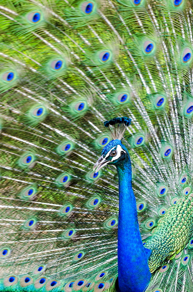 Indian peacock (Pavo cristatus), Waimea Valley Audubon Park, North Shore, Oahu, Hawaii, United States of America, Pacific