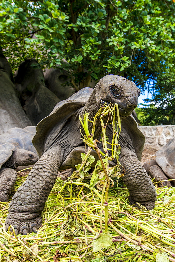 Giant Aldabra Seychelles tortoise (Aldabrachelys gigantea), Union Estate Park, La Digue, Republic of Seychelles, Indian Ocean, Africa