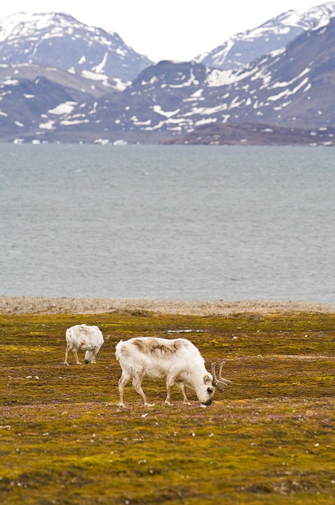 Reindeer at Ny Alesund, Svalbard Archipelago, Norway, Arctic, Scandinavia, Europe