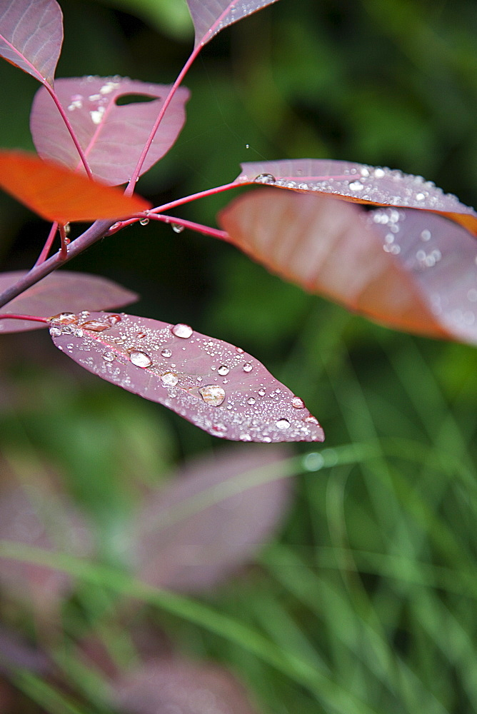 Plants, Smoke Bush, Water droplets on leaves of Cotinus Grace plant.