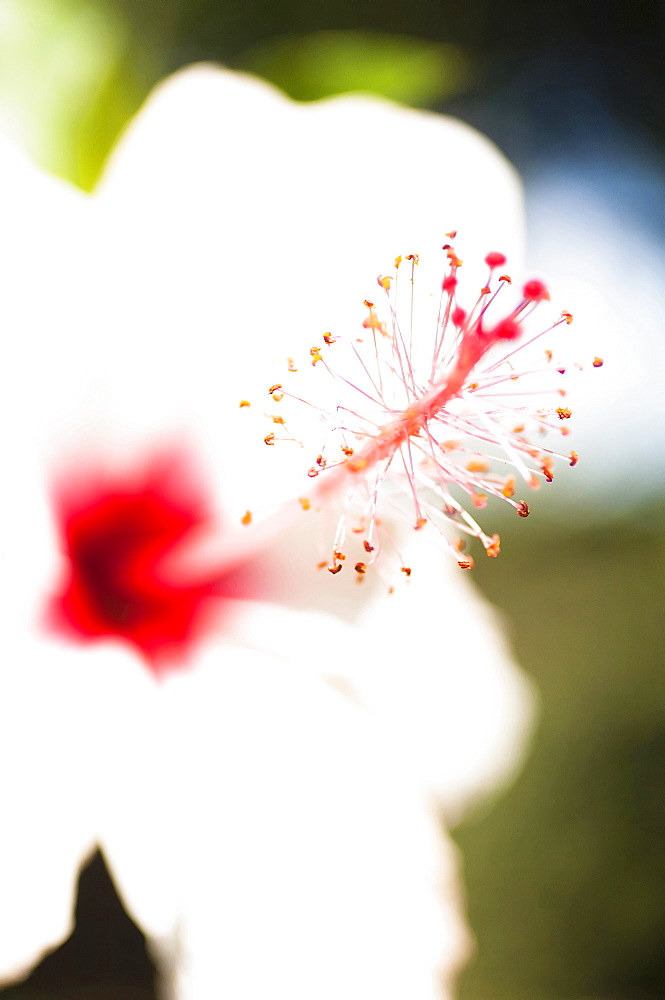 Plants, Flowers, White Hibiscus flower with detail of vivid red pistil and stamen.