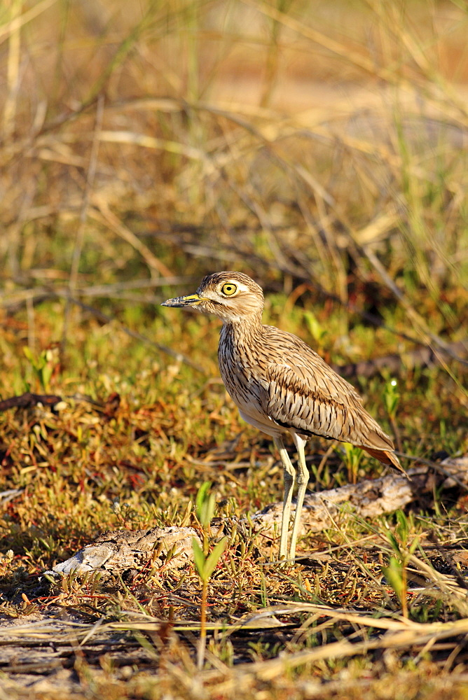 Animals, Birds, Waders, Senegal thick-knee Burhinus senegalensis Wading through vegetation in the early morning light The Gambia West Africa.