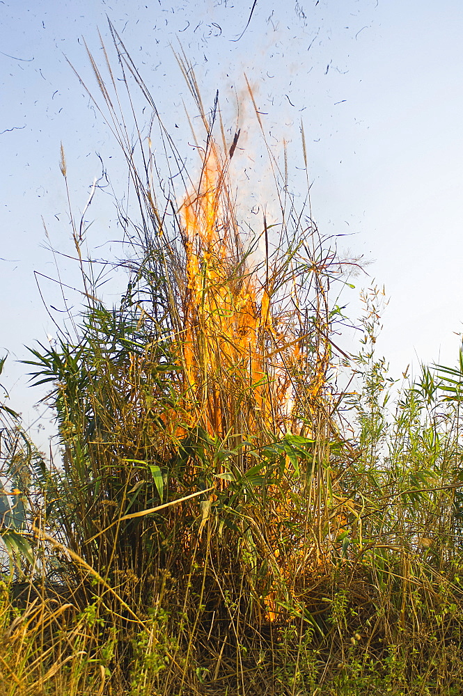 Bangladesh, Chittagong Division, Bandarban, Bamboo burning in the traditional slash and burn style of juma agriculture.