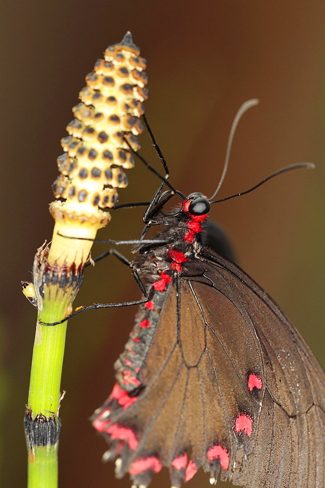 Insects, Butterfly, Barred Horsetail, Close up of Butterfly on Equisetum Japonicum.