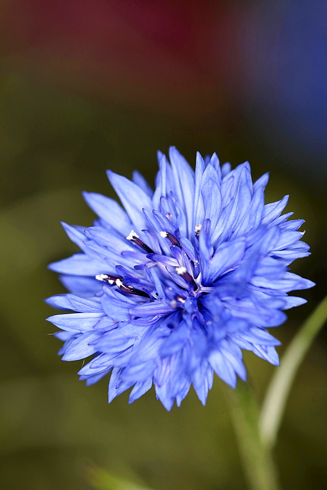 Close up image of a blue cornflower