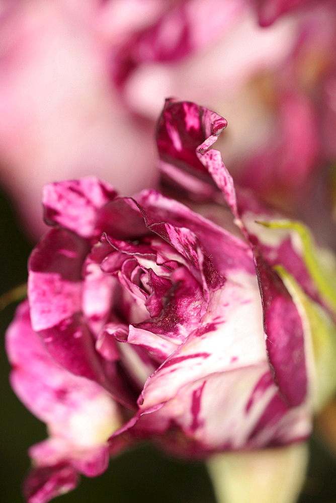 Plants, Flowers, Roses, Rose, Rosa, Close up of pink and white petals.