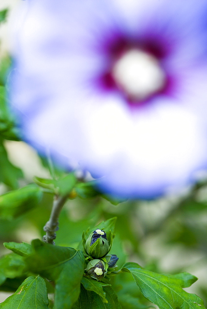 Rose mallow, Hibiscus syriacus 'Blue Bird', purple blue flower and buds growing on a shrub against a green background.