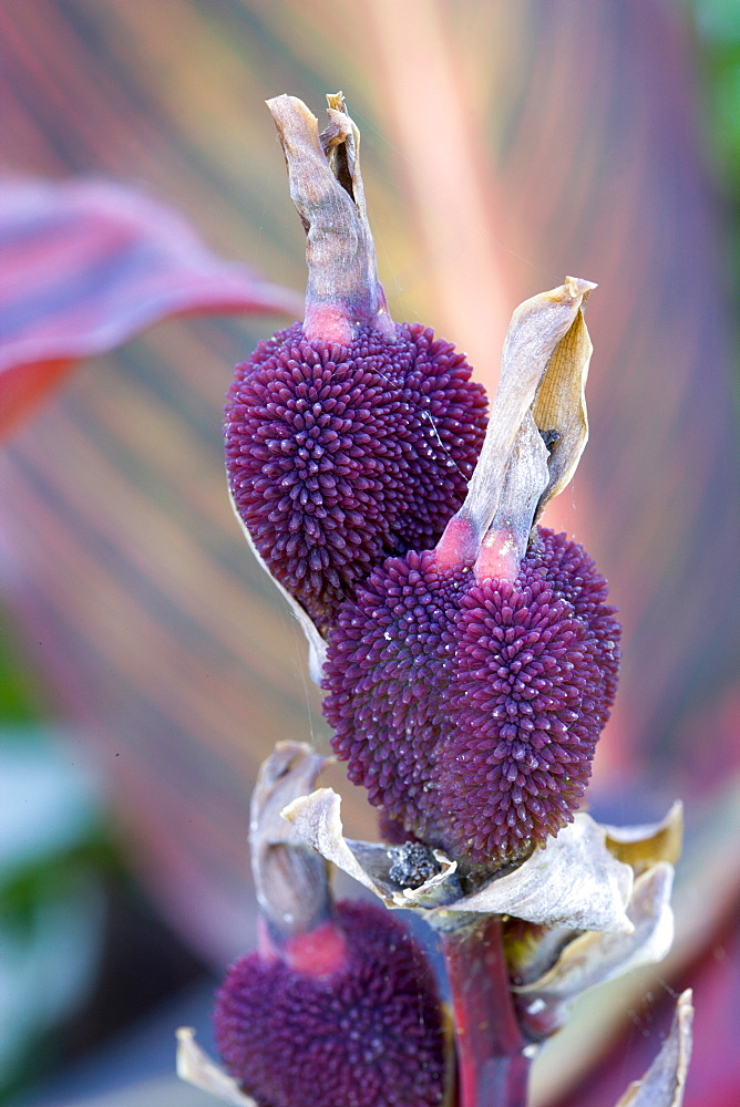 Canna, close up of purple seed pods in autumn.