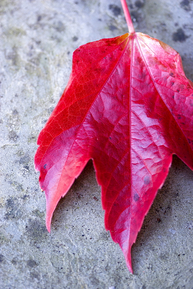 Boston ivy, Parthenocissus tricuspidata, close-up detail of a single fallen red leaf on grey stone in the autumn.